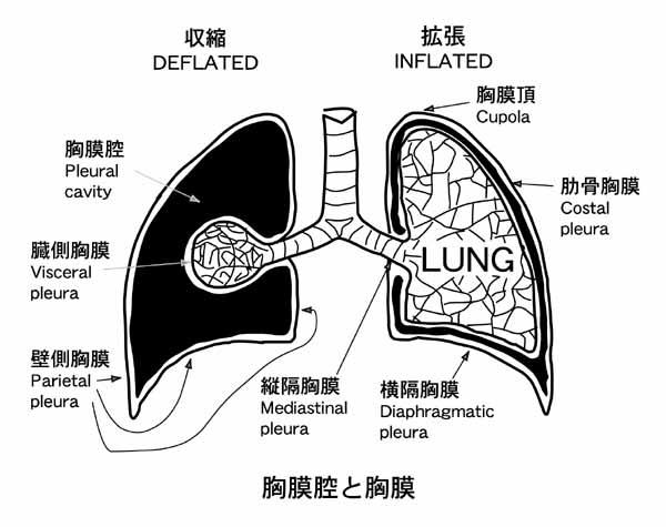 胸膜炎 一般社団法人日本呼吸器学会