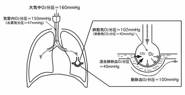 酸素分圧の生体内変動 8) 肺胞換気と死腔を説明できる. 肺胞換気量 ... 呼吸器系8−呼吸生
